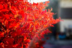 Backlit red fall leaves. The red, fall colors of a border shrub around a garden in Yamato, Japan, backlit by the bright afternoon sun royalty free stock image