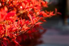 Backlit red fall leaves 3. The red, fall colors of a border shrub around a garden in Yamato, Japan, backlit by the bright afternoon sun stock photography
