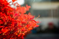 Backlit red fall leaves 2. The red, fall colors of a border shrub around a garden in Yamato, Japan, backlit by the bright afternoon sun stock image
