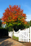 Red Fall Colors Tree and White Garden Picket Fence Royalty Free Stock Photo