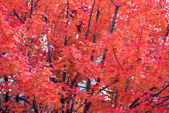 Red Fall Foliage. Red foliage on an Autumn tree stock photo