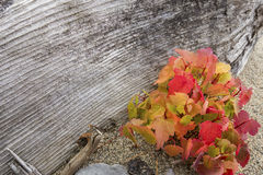 Red fall foliage of maple seedlings with driftwood in Maine. Stock Photo
