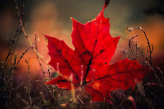 Red Fall Leaf Stock Photo