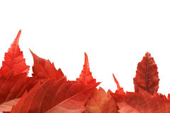 Red fall leaf border Royalty Free Stock Images