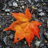 Red fall leaf Royalty Free Stock Photo