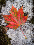 Red fall leaf Stock Photos