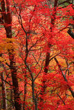 Red fall leaves Royalty Free Stock Images
