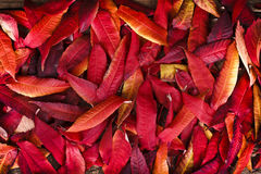 Red fall leaves royalty free stock photography