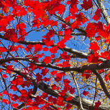 Red Fall Leaves and Blue Sky Background Royalty Free Stock Images