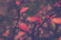Red fall leaves on a branch Royalty Free Stock Image