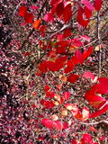 Red fall leaves. The brilliant colors of autumn Royalty Free Stock Photography
