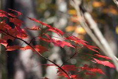 Red fall leaves. Capturing the beauty of the fall colours in Canada Stock Images