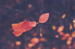 Red fall leaves on dark background Stock Image