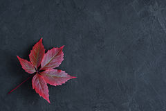 Red fall leaves of Virginia creeper. On black background royalty free stock photos