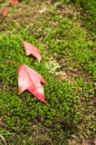 Red fall maple. Fall maple leaf on the rock with moss in Phu Kradung national park, Loei province, Thailand Royalty Free Stock Photography