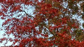Red fall leaves blowing in the wind