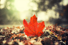 Red Fall season leaf Royalty Free Stock Images