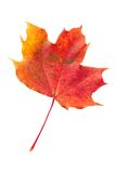 Red fallen autumn leaf. Isolated on a white background Stock Photos