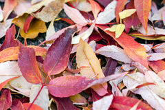Red fallen foliage of beech trees on ground Royalty Free Stock Photo