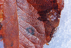 Red fallen leaf Royalty Free Stock Images