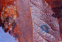 Red fallen leaf. The old red fallen leaf on snow Stock Photo