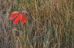 Red fallen leaves. In autumn Royalty Free Stock Photos