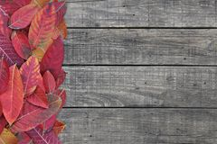 Scarlet red fallen leaves on rustic wooden background in autumn color with copy space for season change design royalty free stock images