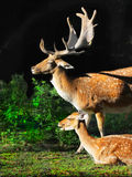 Red Fallow Deers stock images