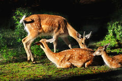 Red Fallow Deers Stock Photography
