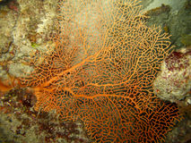 Red Fan Coral. In between reef Royalty Free Stock Images