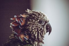 Red-fan Parrot royalty free stock images