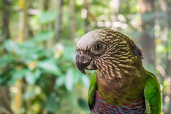 Red-fan parrot Stock Photography