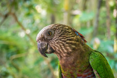 Red-fan parrot Royalty Free Stock Image