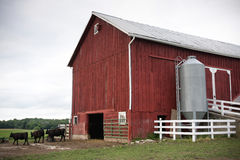 Red Farm Barn with Cows Royalty Free Stock Photos