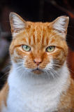 Red fat cat stock photography