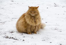 Red fat cat. On snow Royalty Free Stock Photos