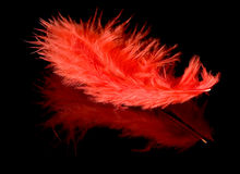 Red feather with reflection Stock Image