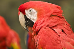Red feathered Parrot Stock Images