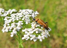 Red feeding beetle on the white flower Stock Image