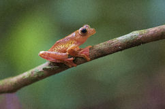 Red feet tree frog Stock Photos