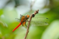 Red Female Dragonfly stock images