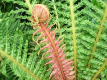 Red Fern Frond Stock Photography