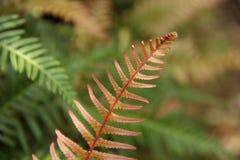 Red Fern Leaf Royalty Free Stock Photos