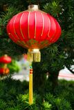 Red festive chinese lantern hanging on a fluffy green Christmas tree. stock photos