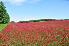 He is a red field. Royalty Free Stock Photos