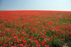 Red field. A field of poppies in sussex England Poppy field full field of view Royalty Free Stock Images