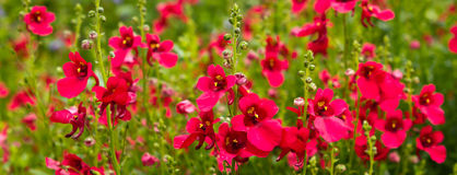 Red field flowers