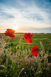 Red field flowers or poppies in the evening sun Royalty Free Stock Image