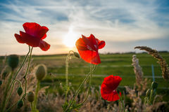 Red field flowers or poppies in the evening sun Royalty Free Stock Photography
