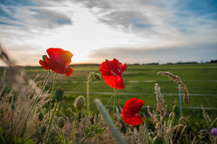 Red field flowers or poppies in the evening sun Stock Photography